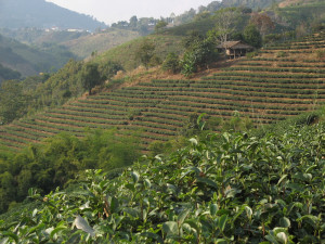 Oolong tea is the main crop here